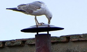 Seagull atop the Sistine Chapel chimney minutes before a new pope got chosen