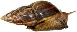 Giant African snail (a.k.a. Japanese snail)