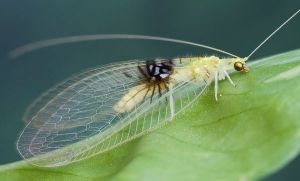 A lacewing identified from an image a photographer shared on the Internet.