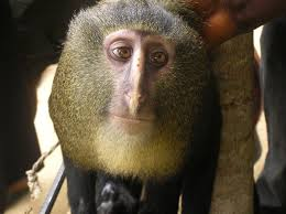 The Lesula monkey found at the Lomami Basin of the Democratic Republic of Congo