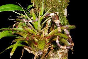 Snail-eating snake found in Panama's mountain range.