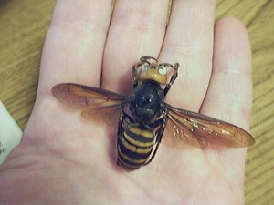 The Asian giant hornet (Vespa mandarinia)