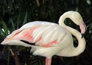 Greater, the oldest known flamingo.