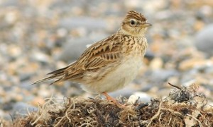 A skylark, one of the 144 species that has been subject in the study. The skylark population has fallen by 46% since 1980.