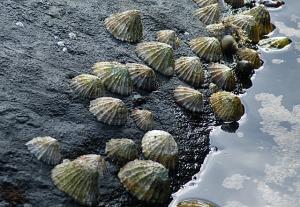 Limpet snails