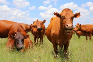 Antibiotics-fed-to-healthy-livestock-harmful-to-children
